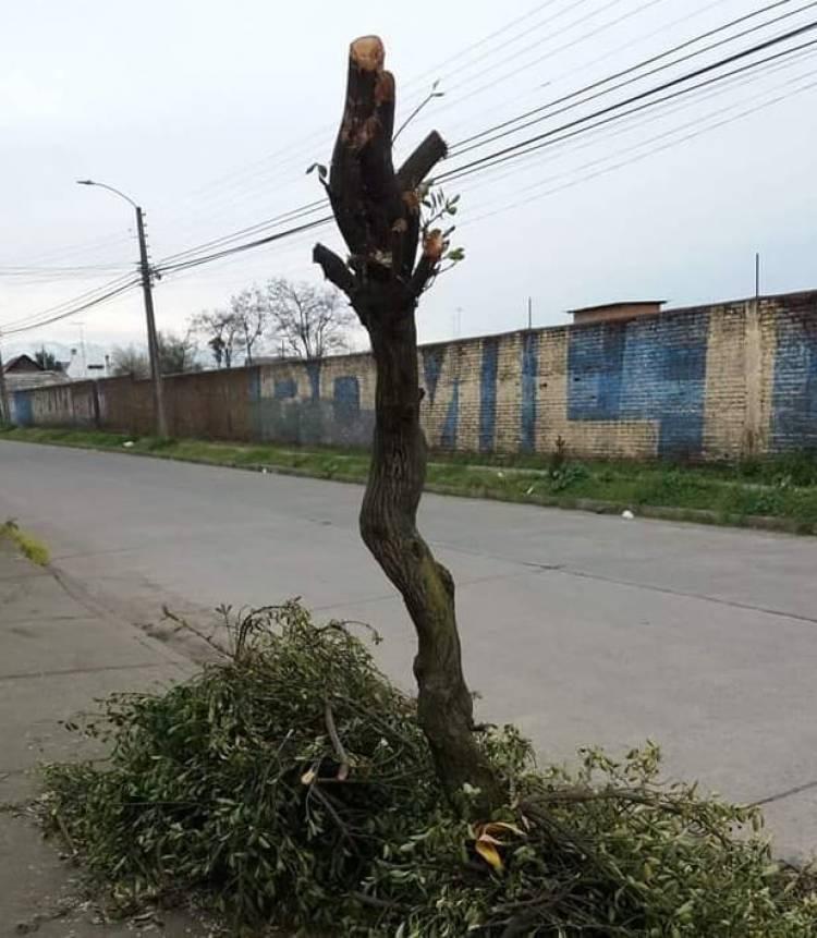 """Denuncian """"mutilación"""" de árboles"""