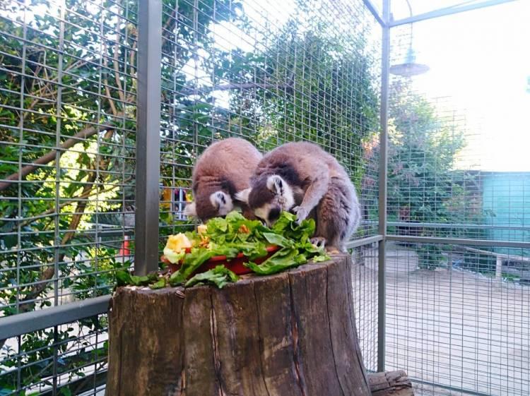 Lémures de cola amarilla se unen a la familia del zoológico linarense