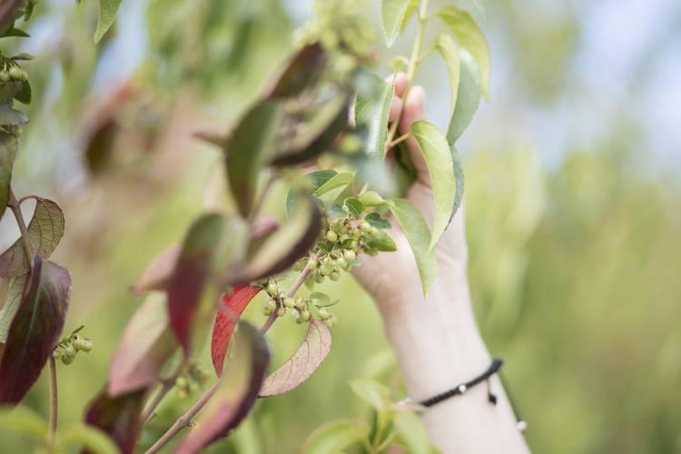 Investigadores UTalca estudian la prevención para enfermedades  cardiovasculares en componentes naturales como el tomate y el maqui