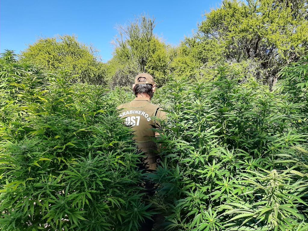 Carabineros decomisa 14 kilos de marihuana elaborada y 381 matas de la droga