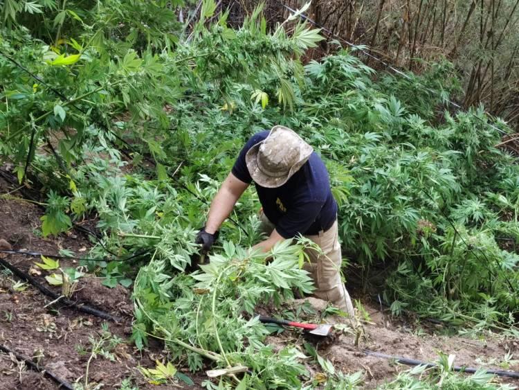 """PDI decomisa más de 9 mil plantas de marihuana en la zona de """"Los Boldos"""" en la comuna de Colbún"""